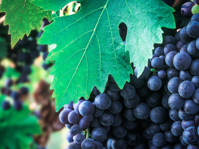 Transfer-And-Tours-Cortona-Tourist-Guide-Chianti-Vineyard-Grape