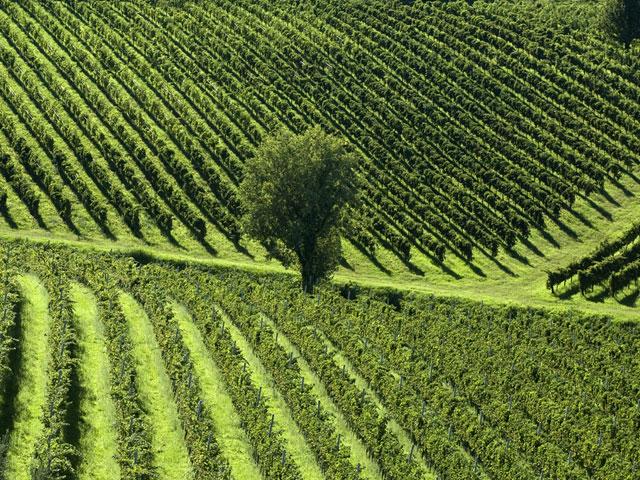 Transfer-And-Tours-Cortona-Tourist-Guide-Chianti-Vineyard-Landscape